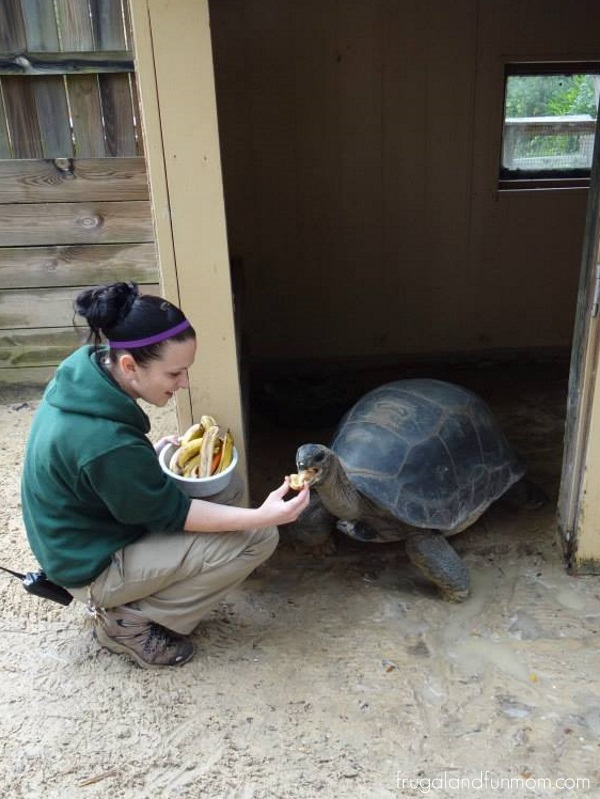 Aldabra Tortoise at the Central Florida Zoo in Orlando Florida