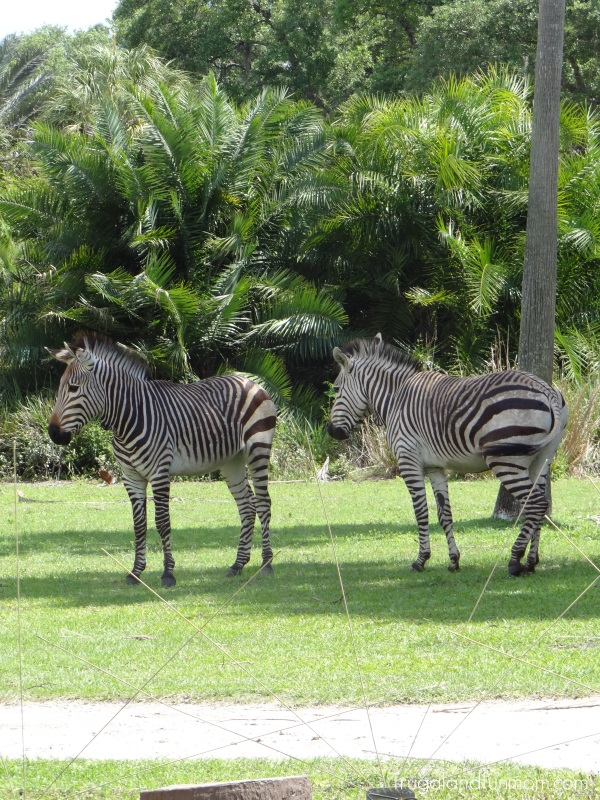 Zebras at Animal Kingdom Lodge