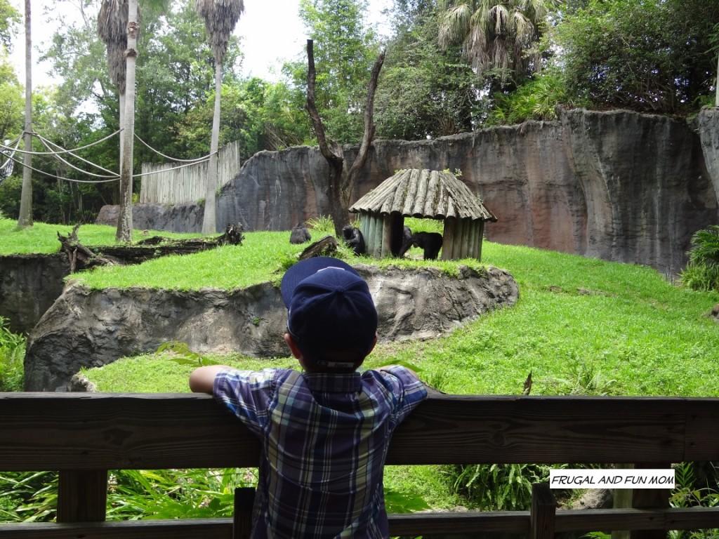 Apes at Busch Gardens