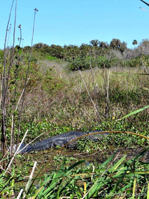 Big Gator Black Hammock Airboat Adventures