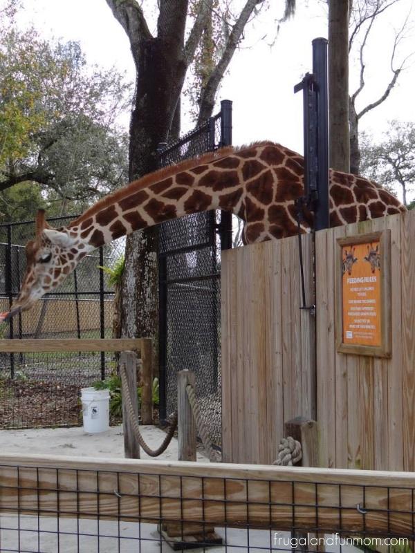 Giraffe at the Central Florida Zoo Orlando Sanford