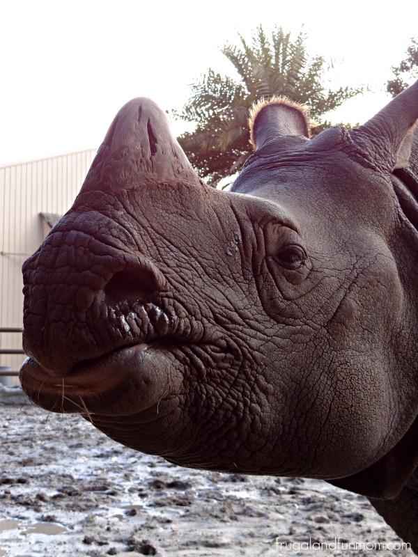 Rhino at the Central Florida Zoo Orlando