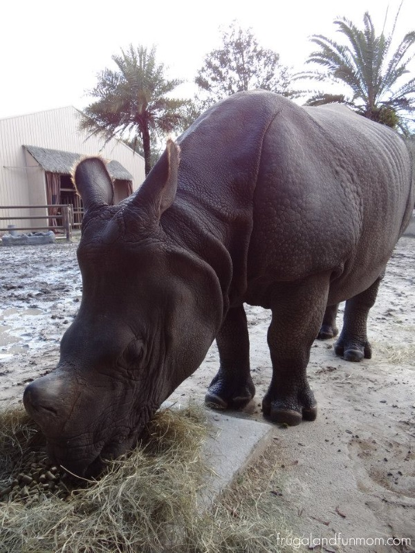 Rhino at the Central Florida Zoo Sandford Orlando