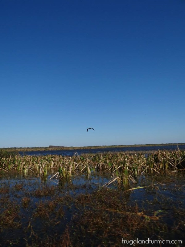 bird out over water on airboat tour Black Hammock Airboat Adventures