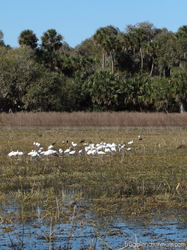 birds from air boat tour Black Hammock Airboat Adventures